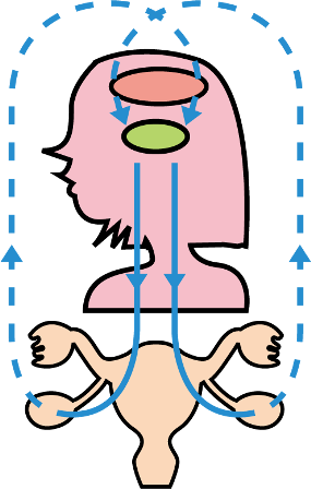 ホルモン伝達